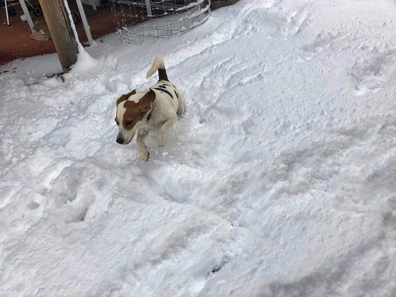 dog jumping in the snow